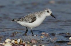 Une recherche alba de Calidris renversant de Sanderling la nourriture le long du rivage à la marée haute Photos libres de droits