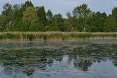 Une rivière envahie avec des roseaux et des nénuphars Photo stock