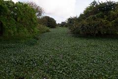 Une rivière remplie de jacinthe d'eau photographie stock libre de droits