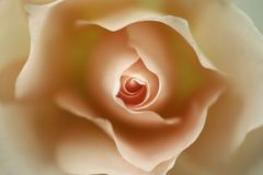 Une rose Images stock
