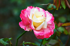 Une rose Photos stock