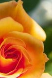 Une rose avec le fond vert images stock