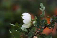 Une rose blanche photos libres de droits