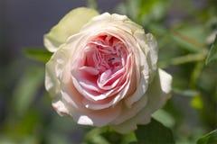Une rose blanche de rose et une fourmi là-dessus Photo libre de droits