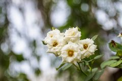 Une rose blanche, ou un nom différent est hybrida de Rosa utilisé en fleur scientifique belle Images stock
