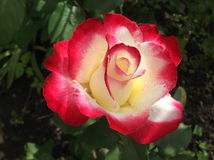 Une rose colorée Photo libre de droits