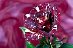 Une rose dans le cramoisi Image libre de droits