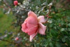 Une rose dans le jardin après la pluie Image libre de droits