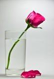 Une rose dans un verre de l'eau Photo stock