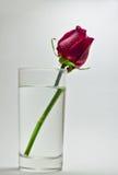 Une rose dans un verre de l'eau Photographie stock