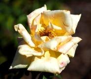 Une rose de jaune d'effacement Images stock