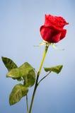 Une rose de rouge à l'arrière-plan bleu Photos libres de droits