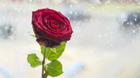 Une rose de rouge contre la fenêtre Photos libres de droits