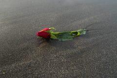 Une rose de rouge sur la plage noire de sable Photos libres de droits
