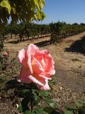 Une rose est une rose à côté des vignes images libres de droits