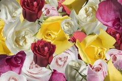 Une rose est un groupe de roses Photos stock