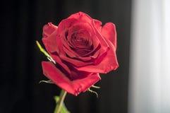Une rose humide de rouge dans le vase à l'arrière-plan blanc brouillé Effets de lentille de foyer sélectif image libre de droits