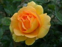 Une Rose jaune avec la goutte de rosée sur les pétales Photographie stock libre de droits