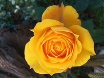 Une rose pour mon amour image libre de droits