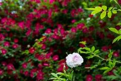 Une Rose rose Photos stock