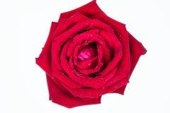 Une rose rouge 2 Photos libres de droits