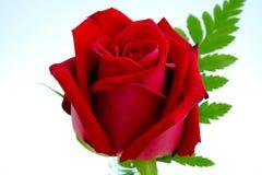 Une rose rouge d'isolement Photographie stock libre de droits