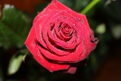 Une rose rouge dans les gouttelettes de l'eau Photo libre de droits