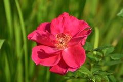 Une rose rouge en pleine floraison Photos stock