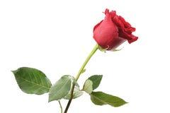 Une rose rouge foncé d'isolement sur le blanc Image stock