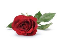 Une rose rouge foncé d'isolement sur le blanc Photo libre de droits