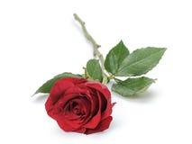 Une rose rouge foncé d'isolement sur le blanc Image libre de droits