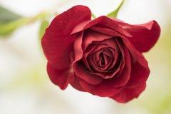 Une rose rouge-foncé est bloomimg sur le fond blanc Photo libre de droits