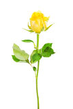Une rose séparée de jaune. Photo stock