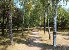 Une ruelle d'arbre de bouleau Photo libre de droits