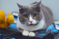 Une séance adorable mignonne de chat détendent sur une écharpe tricotée Images stock