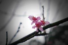 Une série de fleurs de couleur de rose de Sakura se développe pousse au printemps Image libre de droits
