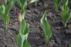 Une série de plusieurs tulipes de couleur-cueillette plantées dans la terre Photo libre de droits