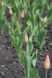 Une série de plusieurs tulipes de couleur-cueillette plantées dans la terre Photographie stock libre de droits
