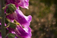 Une sauterelle à l'intérieur d'une fleur Photographie stock libre de droits