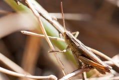 Une sauterelle brune Images stock