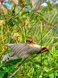 Une sauterelle brune se repose dans un pré vert d'automne Photographie stock