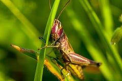 Une sauterelle gaie de chant parmi le macro d'herbe verte évident Photo libre de droits