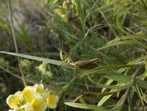 Une sauterelle se camoufle en changeant sa couleur en vert Images libres de droits