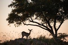 Une scène africaine de silhouette photographie stock libre de droits