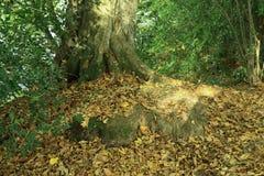 Une scène de région boisée avec des feuilles d'automne a dispersé autour d'un vieux tronc d'arbre image libre de droits