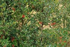 Une scène de région boisée comportant un buisson de houx image stock