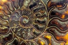 Une section transversale fossilisée d'ammolite de pierre gemme montre la texture Photos libres de droits