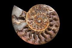 Une section transversale fossilisée d'ammolite de pierre gemme montre la texture Fossile de Nautilus Photographie stock