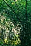 Une seule peau d'arbre sous les arbres en bambou Photographie stock libre de droits
