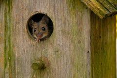 Une souris dans une maison d'oiseau photographie stock libre de droits